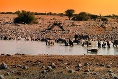 Выпивая зебры на waterhole Стоковые Изображения RF