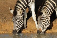 выпивая зебры равнин Стоковые Изображения