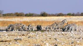 выпивая зебры Стоковое Фото
