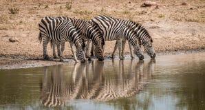 выпивая зебры Стоковые Изображения