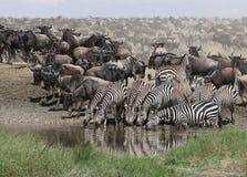 выпивая зебры serengeti национального парка Стоковые Фотографии RF