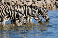 выпивая зебры waterhole воды okaukeujo Стоковая Фотография