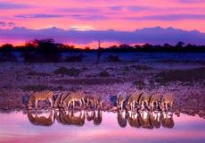 выпивая зебры waterhole стоковые изображения