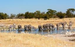 выпивая зебры waterhole Стоковое Фото