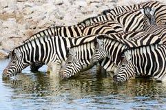 выпивая зебры waterhole Стоковая Фотография RF