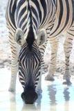 выпивая одичалая зебра Стоковая Фотография RF