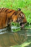 выпивая тигр стоковое фото