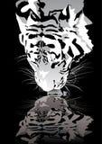 выпивая тигр Стоковая Фотография
