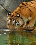 выпивая тигр Стоковые Изображения