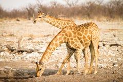 выпивая giraffe стоковое фото