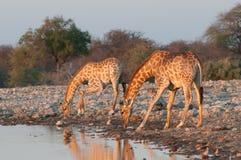 выпивая giraffe стоковая фотография rf