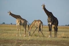 выпивая giraffes стоковое фото