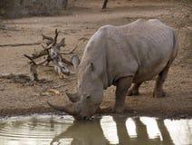 выпивая waterhole носорога Стоковые Фото