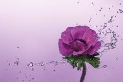 Выплеск воды на цветке ветреницы Стоковое Изображение RF