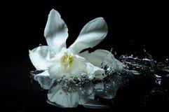 выплеск daffodil Стоковая Фотография