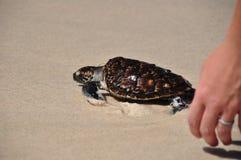 Выпускать черепаху Стоковая Фотография RF