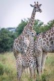 Выпуск облигаций жирафа младенца с матерью Стоковые Фотографии RF