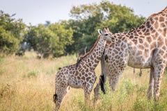 Выпуск облигаций жирафа младенца с матерью Стоковые Изображения RF