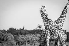 Выпуск облигаций жирафа с другое одним Стоковое Изображение