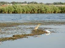 Выпь в загрязненной воде Стоковое Фото