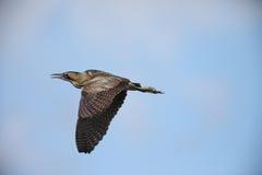 Выпь птицы евроазиатская в полете Стоковая Фотография RF