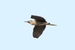 Выпь птицы евроазиатская в полете Стоковая Фотография