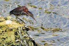 выпь птицы Стоковое Фото