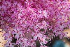 Выплеск розовых цветенй цветка Стоковое фото RF