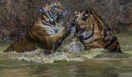 Выплеск тигра Стоковые Изображения RF
