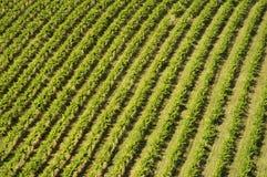 выравнивает vinyard Стоковые Изображения