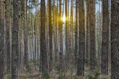Выравнивать красное солнце в лесе Стоковая Фотография