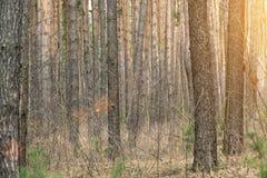 Выравнивать красное солнце в лесе Стоковые Фотографии RF