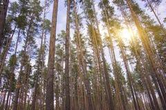Выравнивать красное солнце в лесе Стоковое Изображение RF