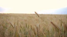 Выравнивать пшеничное поле