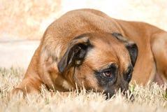 выражение собаки застенчивое Стоковое Изображение RF