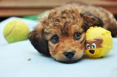 Выразительный щенок глаз стоковое изображение