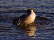 Выразительное заплывание в озере от гусыни Канады Стоковая Фотография RF