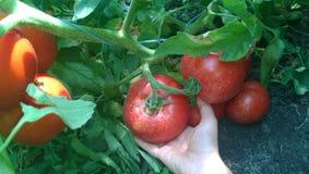 Вырастите ваши собственные томаты стоковое фото rf