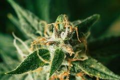 Вырастите и польза марихуаны для целебных целей Концепции узаконивая деланные пи-пи красивые бутоны перед сбором стоковая фотография