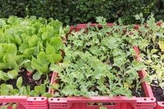 Вырастите овощи в красной пластичной коробке стоковое фото rf