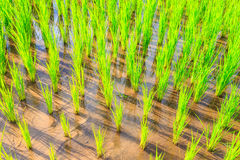 Вырастите рис на chiangmai стоковые фото