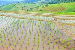 Вырастите рис na górze горы стоковое изображение