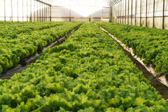 Вырастите салат в парнике стоковое изображение rf