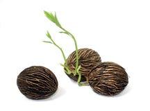 вырастите семя Стоковое Изображение RF