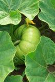 вырастите тыква стоковое фото rf