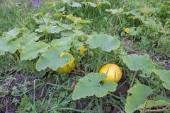 Вырастите тыквы на поле, большие желтые тыквы растя в саде стоковое фото rf