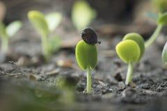 Выращивание растения от дерева семени стоковое фото rf