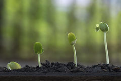 Выращивание растения от дерева семени Стоковые Изображения