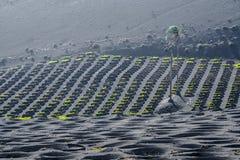 выращивающее Вин Ла Geria зоны на острове Лансароте Стоковая Фотография RF