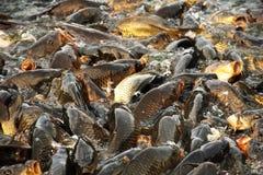 Вырезубы в священнейшем озере Rewalsar Стоковые Изображения